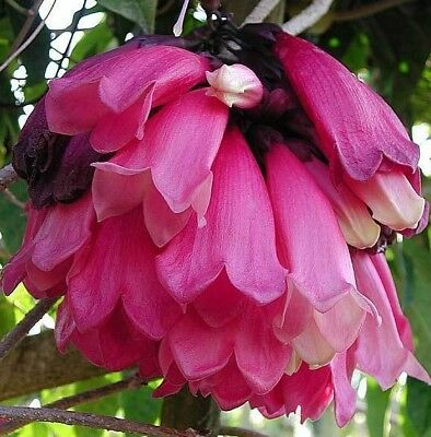 ROARING MEG Tecomanthe climbing pink flowers plant in 140mm pot