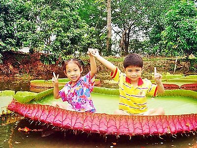 5 Thai Victoria Amazonica Seeds, Exotic Rare Giant Water Lily Lotus Pond Fresh