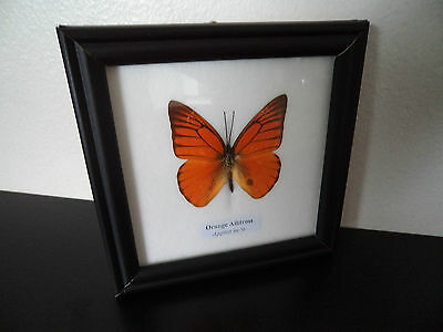 Real Butterfly Orange Albatross (Appias Nero) Taxidermy Lepidoptera