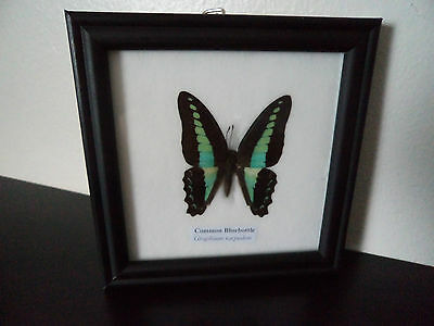 Real Butterfly Common Bluebottle (Graphium Sarpedon) Taxidermy Lepidoptera