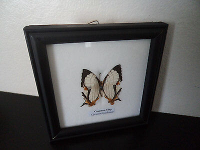Real Butterfly Display Common Map (Cyrestis Thyodamas) Taxidermy Entomology