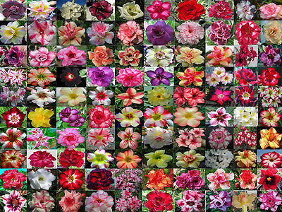 "Adenium Obesum seeds "" Mixed100 kinds ""1000 seeds"