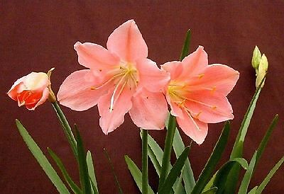CYRTANTHUS ELATUS -rare PINK FORM african bulb LARGE PINK FLOWERS flowering size