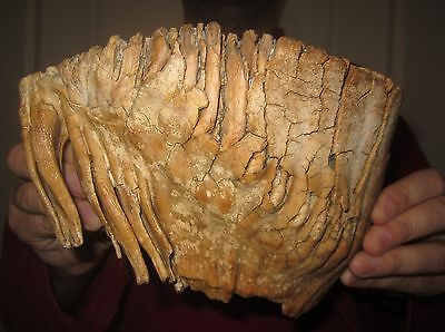 Impressive Great Tooth of a Woolly Mammoth FOSSIL Pleistocene for sale