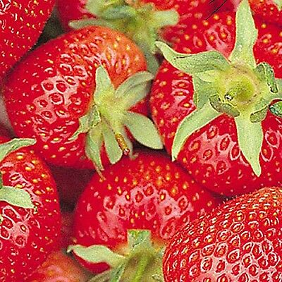 50 x STRAWBERRY FLORENCE BARE ROOT PLANTS READY TO PLANT OUT a