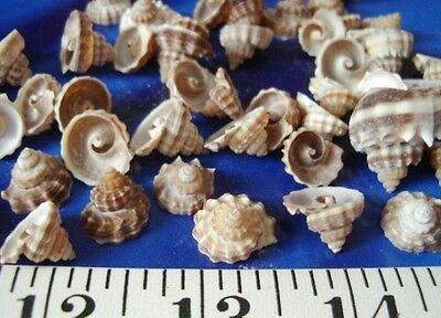 ~ King's Crown Shells ~Vintage~ 24 Top Cuts ~ Shellcraft ~ Sailor's Valentines ~