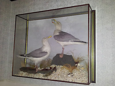 Taxidermy, A pair of beautiful Seagulls in glass case - Large