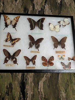 REAL  BUTTERFLIES Framed Collectible Insect Taxidermy and Specimens