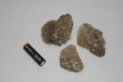 Wasp Hornet Honeycomb Nest Hive Taxidermy Science Art Project (Nest #1028) Mini