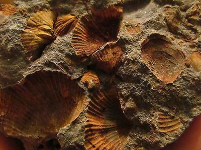 Rare 300 million year old Brachiopod Fossils from the Carboniferous Period!