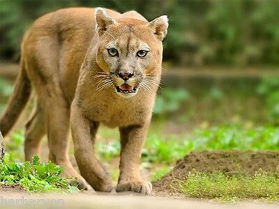 Just Image Wild Young Puma