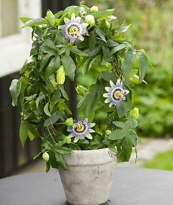 BLUE PASSION FLOWER (Passiflora Caerulea) 20 seeds (#1684)
