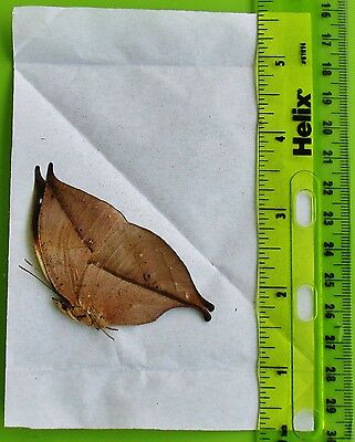 China Oak Dead Leaf Butterfly Kallima inachus chinensis Folded/Papered FAST USA