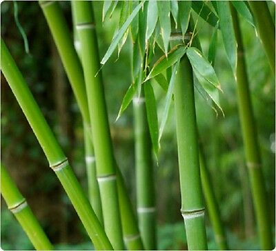 4 x GREEN BAMBOO Bissetii Evergreen 2L POTTED 20-24ins Multistemmed Screen Hedge