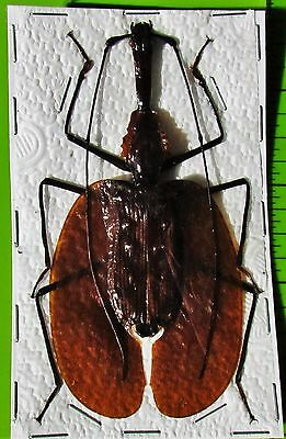 Giant Violin Beetle, Banjo Beetle Mormolyce phyllodes 60-65mm FAST FROM USA