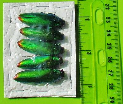 Lot of 20 Iridescent Jewel Beetle Chrysochroa fulminans fulminans FAST FROM USA