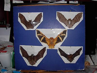 Hanging Bat Bats Taxidermy SOME Rare 5 Species FLYING Position GREAT DISPLAY