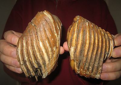 Impressive TWO Teeth BABY of a Woolly Mammoth FOSSIL Pleistocene Museum Quality