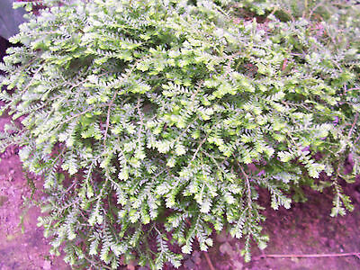 Hardy Selaginella sp rarity living plant NOT SEED!