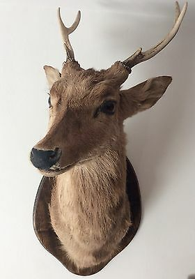 Large Sika Deer Head Buck With Full Antlers Quality Taxidermy On Oak Wall Plaque