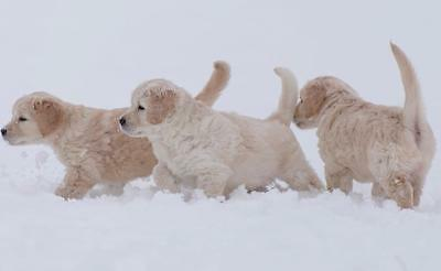 ADORABLE PUPPIES PLAYING GLOSSY POSTER PICTURE PHOTO snow dogs puppy winter 2406