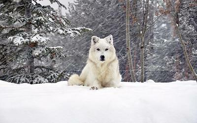BEAUTIFUL WHITE WOLF GLOSSY POSTER PICTURE PHOTO snow wolves pack winter 2409