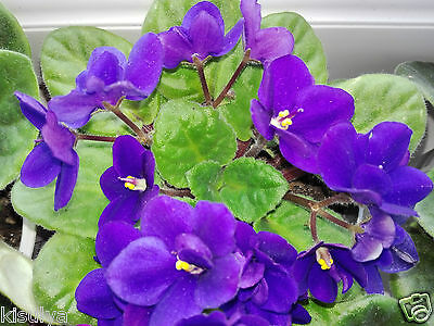 Saintpaulia, african violet, indoor, house young plant