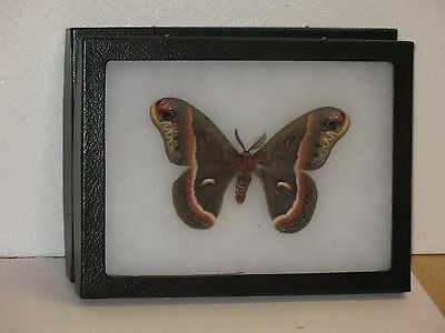 Real framed Cecropia  Moth male from North America