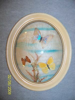 Framed Butterflys in a Curved Glass Frame