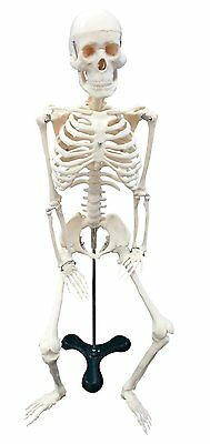 "Ajax Scientific Plastic Human Skeleton with White Plastic Stand Small 18"" Height"