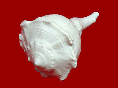 Natural Right Hand Dakshinavarti Lakshmi Shankh (CONCH) - 5 Inch Approx