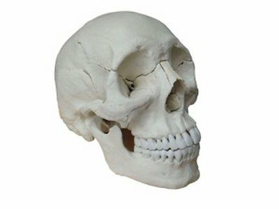 Human Medical Anatomical Adult Osteopathic Skull Model, 22-Part Bone Color...NEW