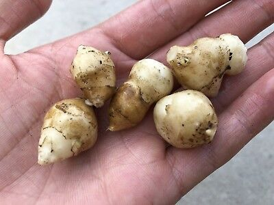 Jerusalem Artichoke /Sunchoke - 250g Tubers Organic Homegrown-Super Easy To Grow