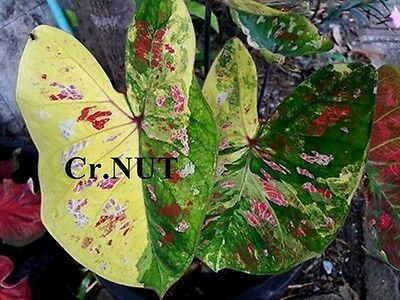 Bulbs Caladium Plants Queen of Foliage Plants Mix Colourful Tropical Size M n16