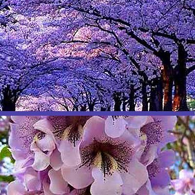 0.4 g about 1300 hardy fastest growing Paulownia Shantong empress tree seeds
