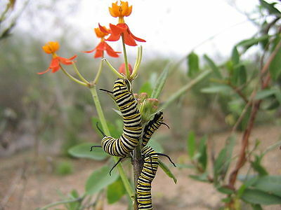 -- 130+ Milkweed Seeds -- Monarch Butterfly Food Source -- Swan Plant --