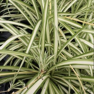 Spider Plants x3 -- Young And Healthy Plant FREE POSTAGE