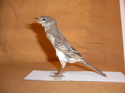 Taxidermy Bird Rare Adult Lalage sueurii  Full Body Display For Education