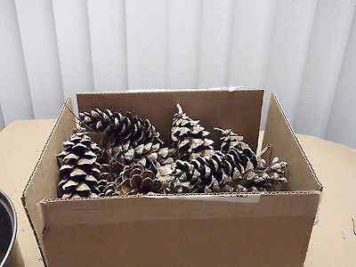 """(LOT OF 600)  NATURAL  MINNESOTA PINE CONES 3""""- 6"""" in  x 1""""-1 1/2"""""""