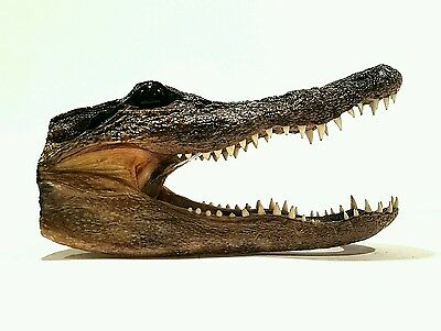 "Alligator Head Crocodile / Real Taxidermy Appx 7"" x 4"""