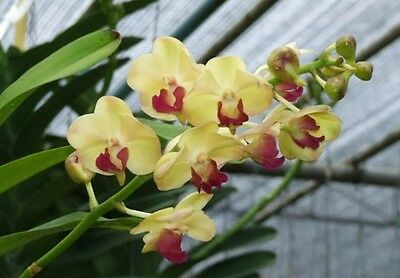 Hybrid orchids Chtra.Boonyarit Moonlight Cattleya Orchid Plants Blooming size