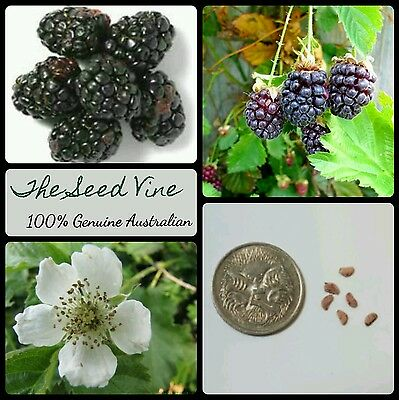 10+ ORGANIC YOUNGBERRY SEEDS (Rubus ursinus x youngberry) Edible Fruit Berry