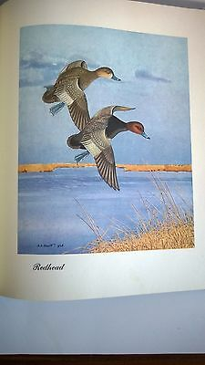 Sports Afield Collection Know Your Ducks and Geese Shortt 1948 Art Antique Print