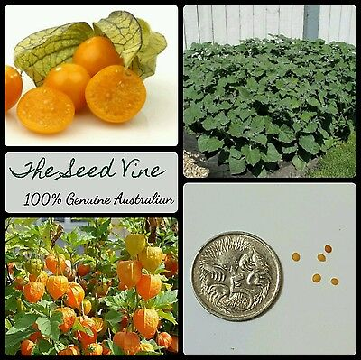 30+ ORGANIC CAPE GOOSEBERRY SEEDS (Physalis peruviana) Golden Nugget Berry