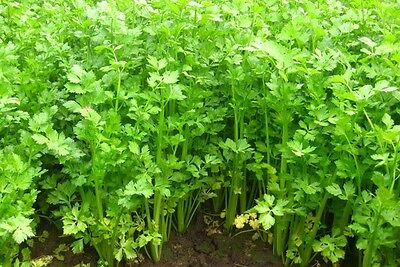 200 Chinese Celery Khan Choy cool weather herb flavor seeds