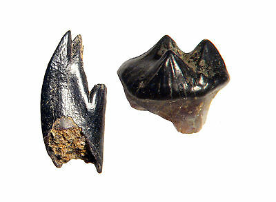 Cretaceous Hell Creek Mammal tooth fossil Large Grade A collection Meniscoessus