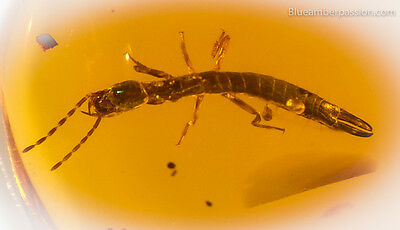 Dominican Amber Fossil V1610 Stunning Earwig on Clear and Solid Amber Piece