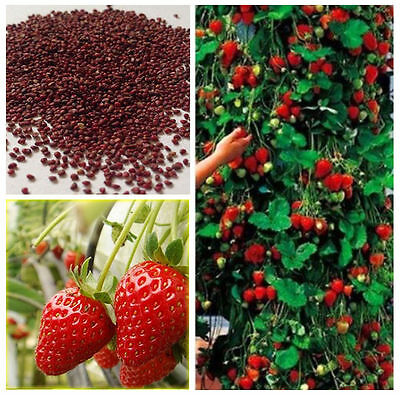 100 Red Strawberry Seeds Garden Plant Fruit UK STOCK FREE P&P