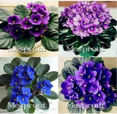 100pcs African Violet Seeds,Saintpaulia Ionantha Wendl the budding rate95%