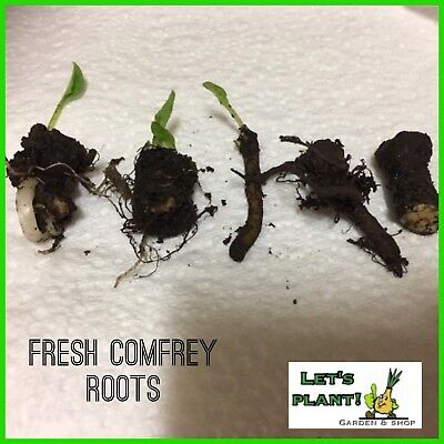 Comfrey 5 Root Cuttings-Easy To Grow-Perfect for Organic farming)